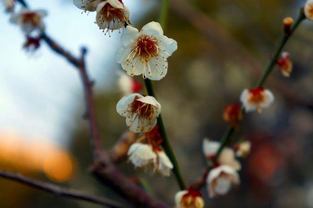 日比谷公園の梅 2016.2.27