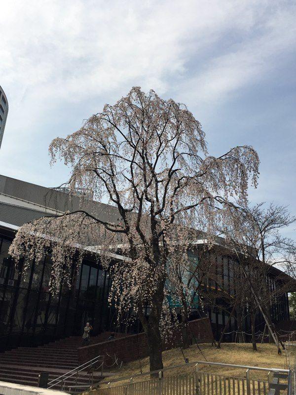 赤坂サカス前の枝垂れ桜 2016.3.23