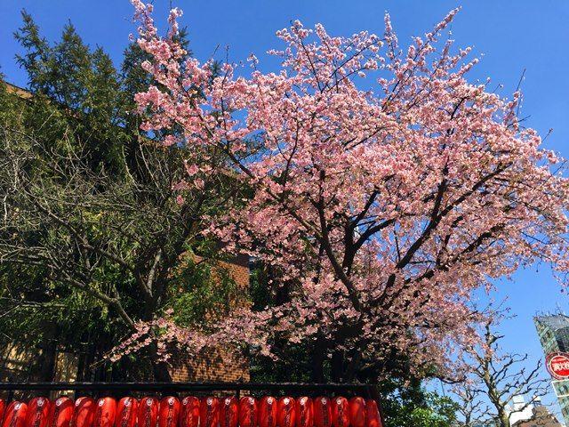 豊川稲荷の桜 2016.3.15