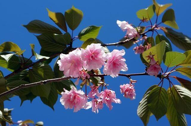 芝浦の八重桜 2016.4.29
